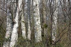 Birchtreesolympia8x12300